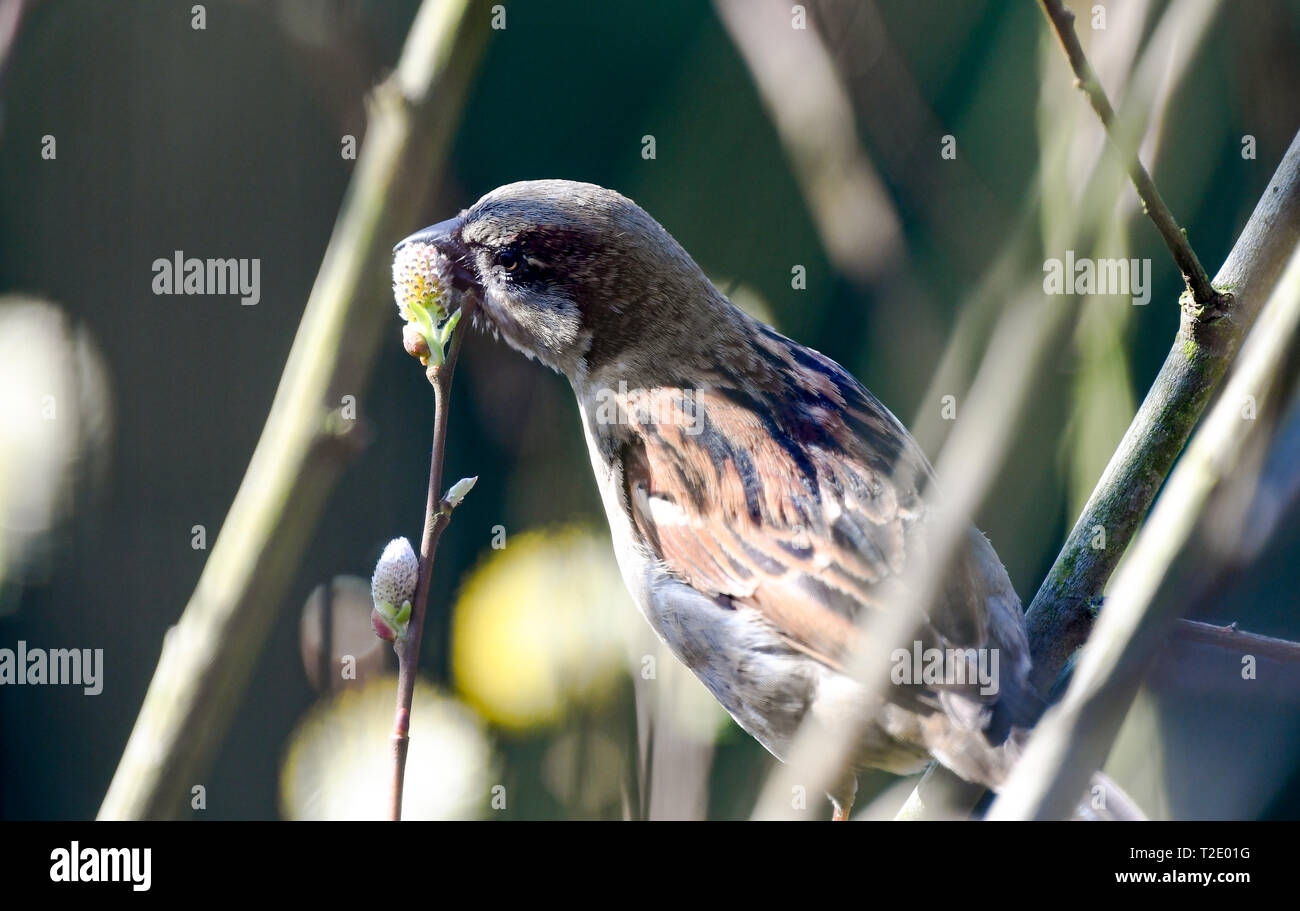 A house Sparrow feeding on pussy willow buds as Spring arrives. Stock Photo