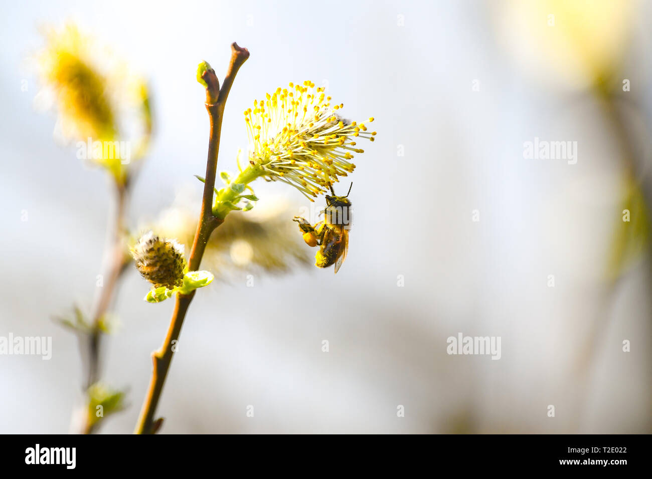 A honey Bee collects pollen from Spring Catkins or Pussy Willow with a large amount of pollen in its pollen leg basket Stock Photo