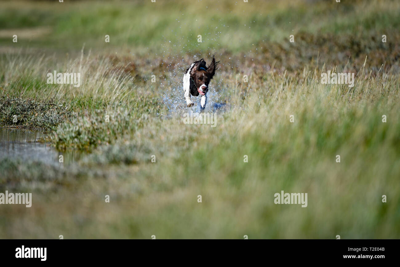 A young English Springer spaniel  leaping and jumping over obstacles chasing and tracking birds through reeds and grass Stock Photo