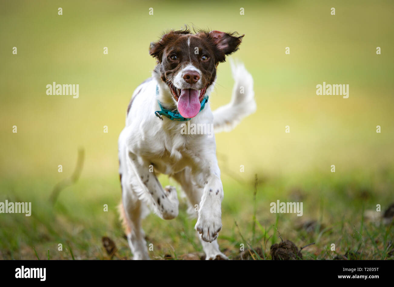 A young English Springer Spaniel looking straight to camera with tongue out caught in mid run against a green clear background with copy space. Stock Photo