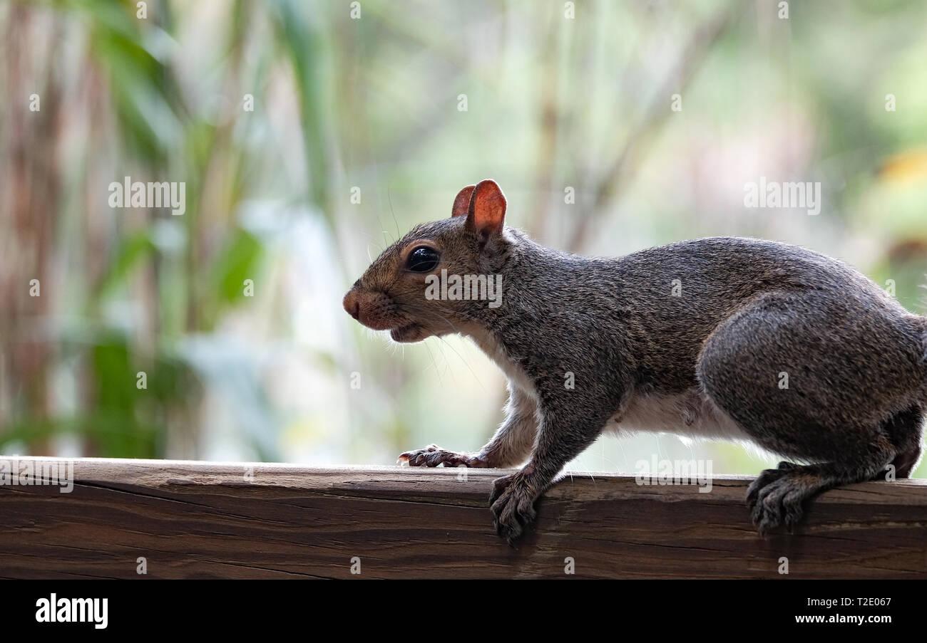 A close-up of a grey squirrel on a garden fence  in Florida USA. Stock Photo