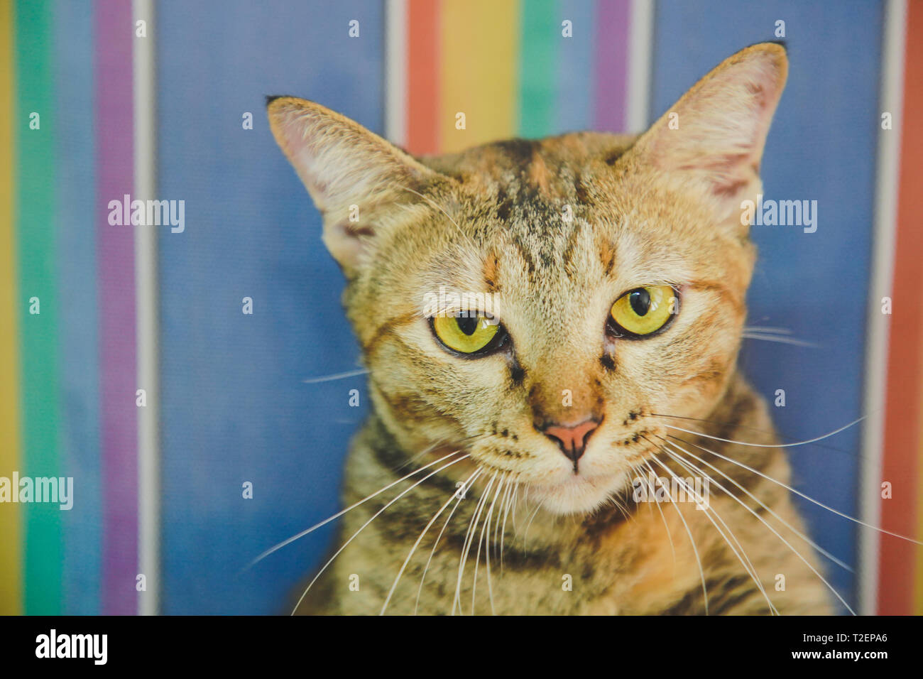Focus of the Red and Brown Tabby cat Kitten face and golden eyes is Sleeping, boring on color of rainbow LGBTQ Background - Stock Image