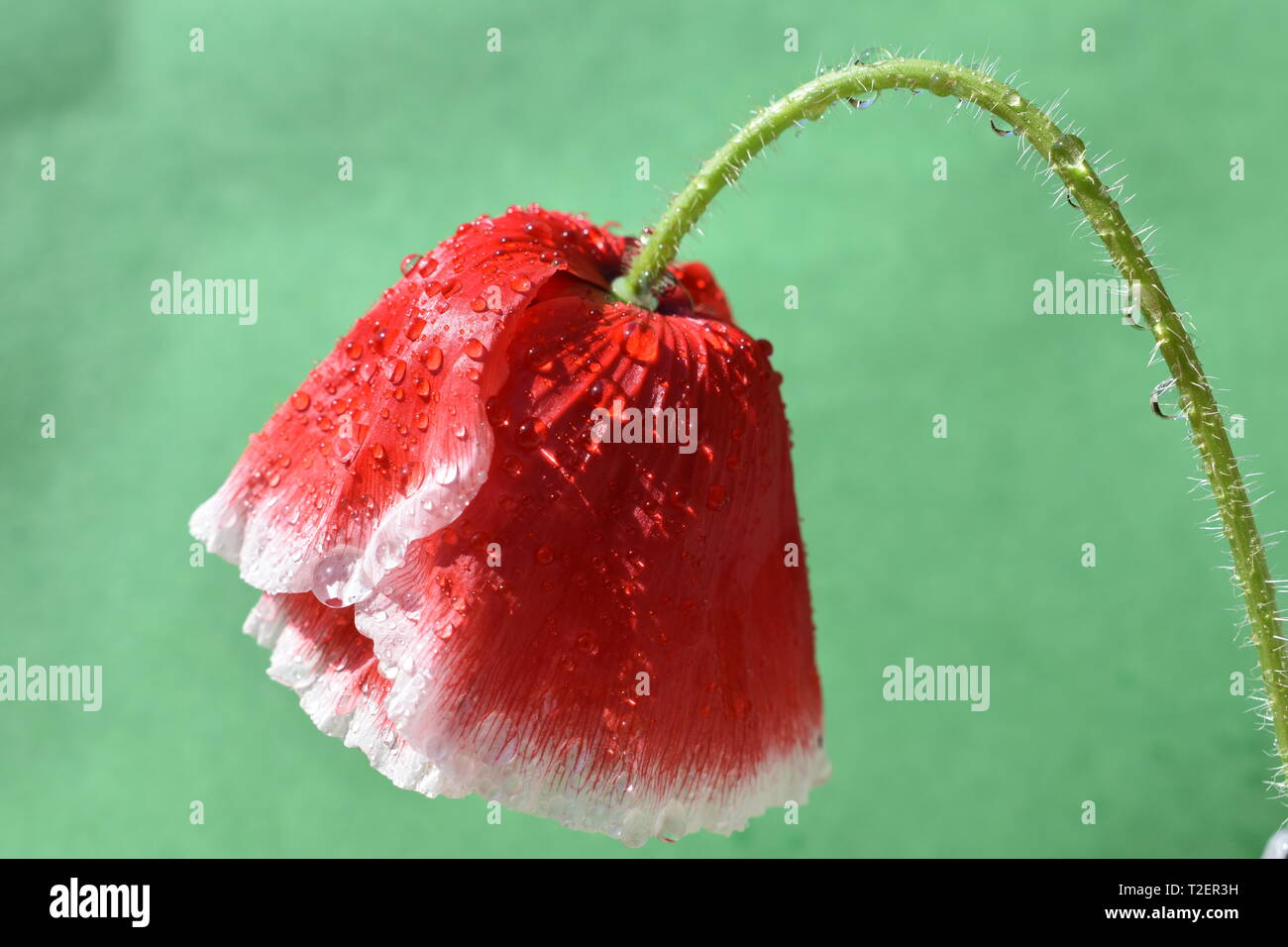 A red and white poppy upside down. - Stock Image