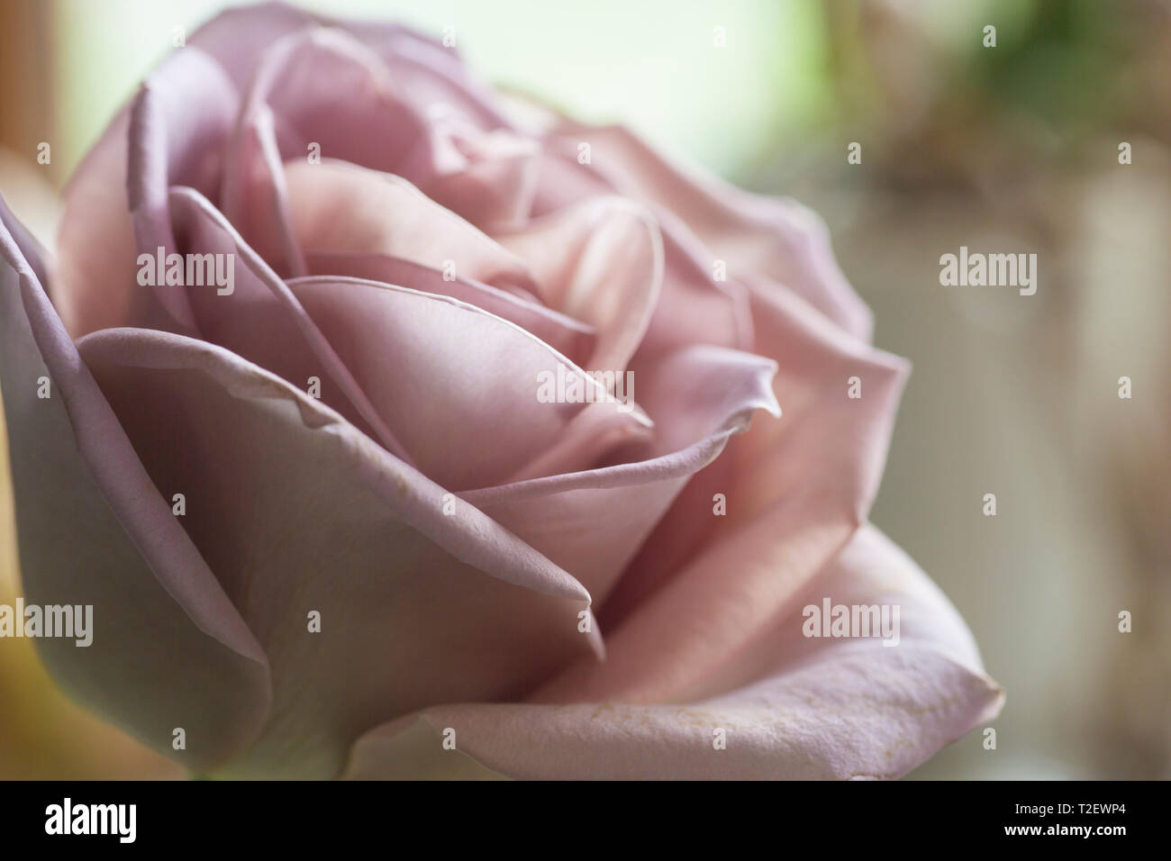 Close up of Amnesia dusky pink rose, showing full bloom with petals - Stock Image