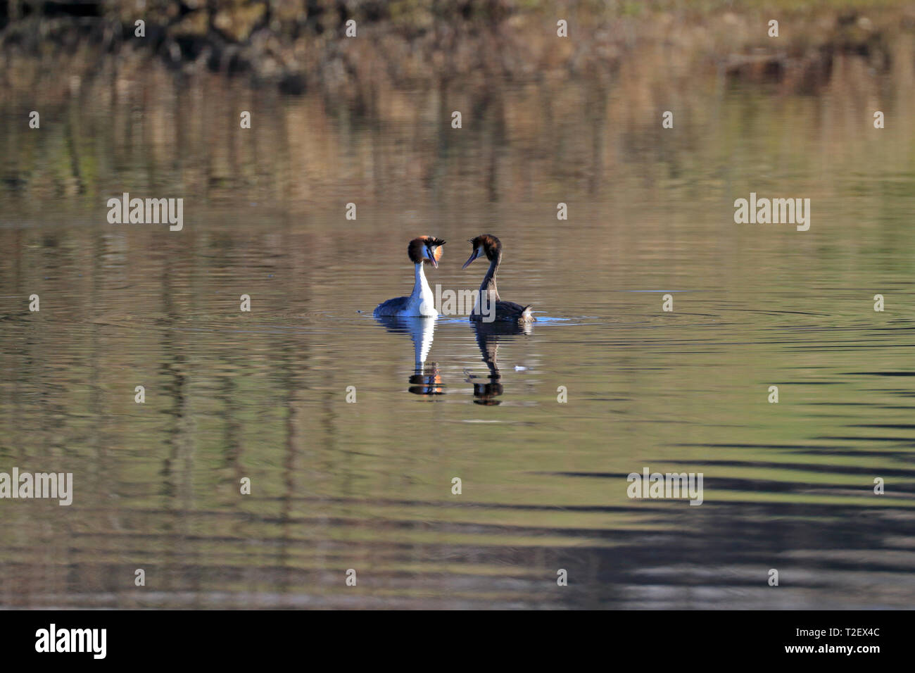Pair of Great crested grebes, Podiceps cristatus during elaborate courtship display, Scout Dike reservoir, Penistone, Barnsley, South Yorkshire, UK. - Stock Image
