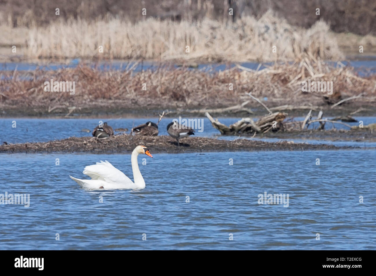 In the Dupage River, a mute swan drifts past three sleeping geese. The swan, wings raised like a sail, quietly floats in the rippled waters. - Stock Image