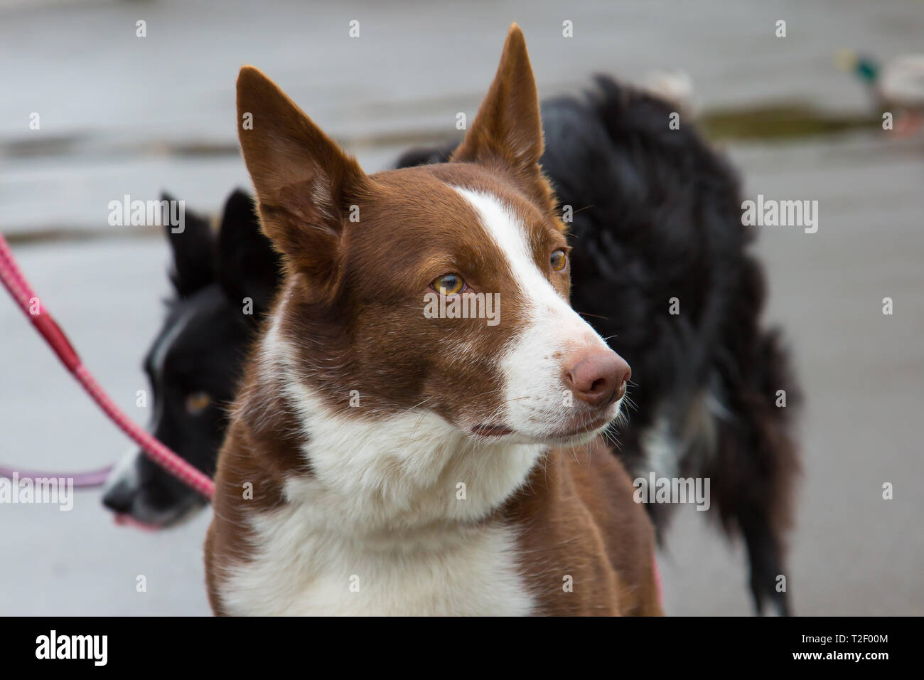 Detailed Close Up Head And Shoulders Shot Of An Australian Short Haired Red Border Collie Out For His Walk In A Country Uk Park Stock Photo Alamy