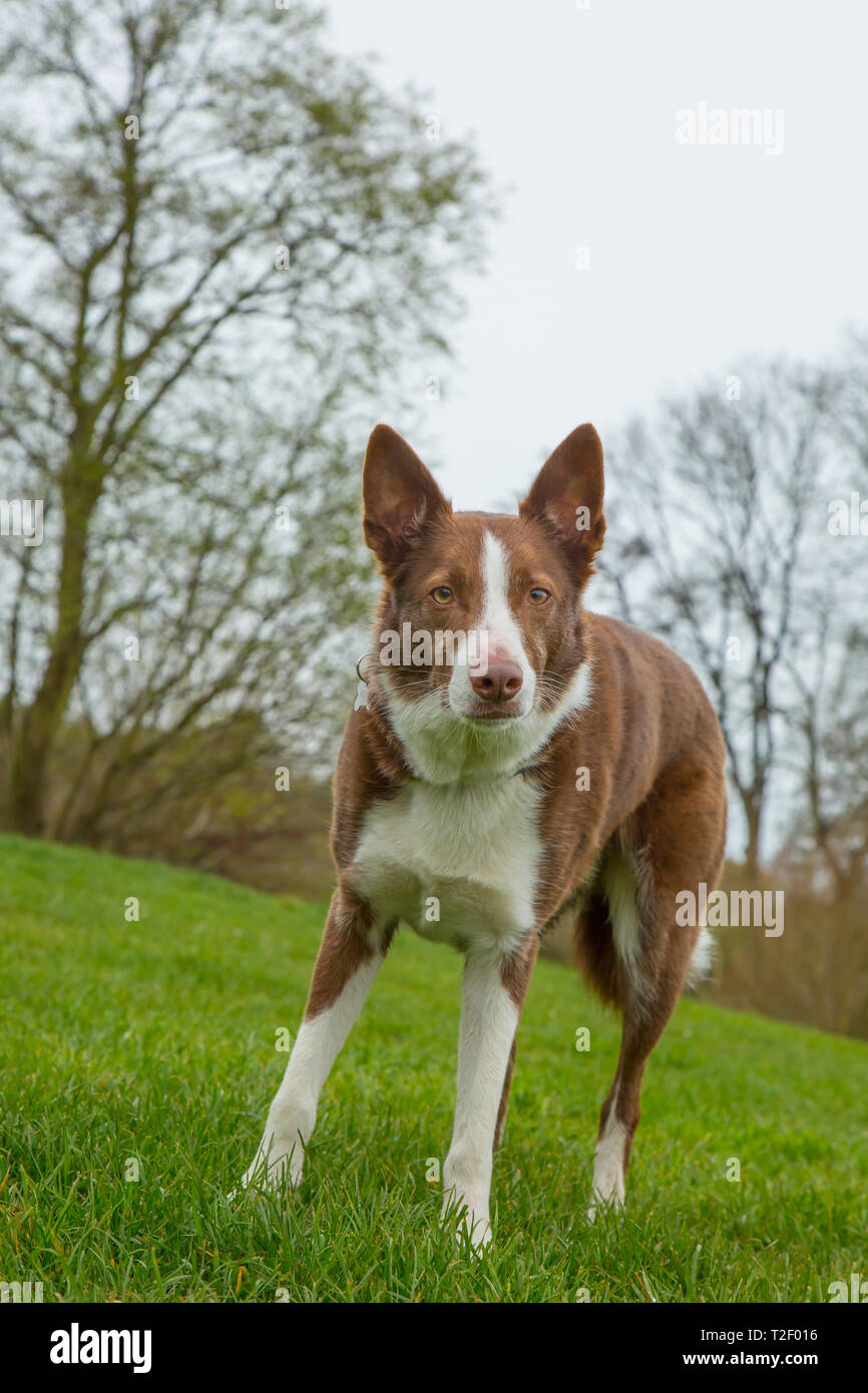 Australian Short Haired Red Border Collie High Resolution Stock Photography And Images Alamy