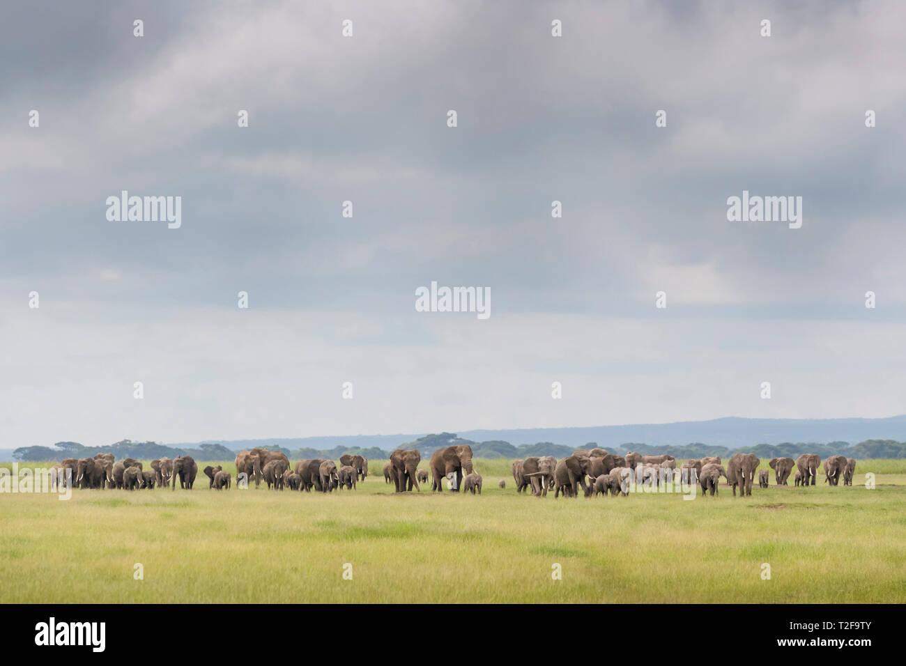 African elephant (Loxodonta africana) herd walking together on savanna, Amboseli national park, Kenya. - Stock Image