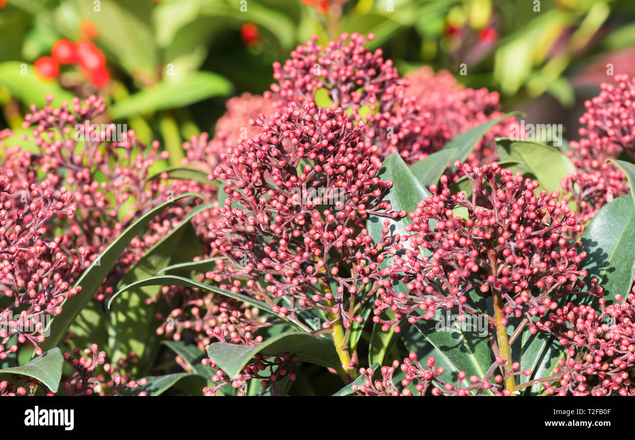 Skimmia japonica 'Rubella' shrub (Japanese skimmia) growing in Winter in the UK. - Stock Image