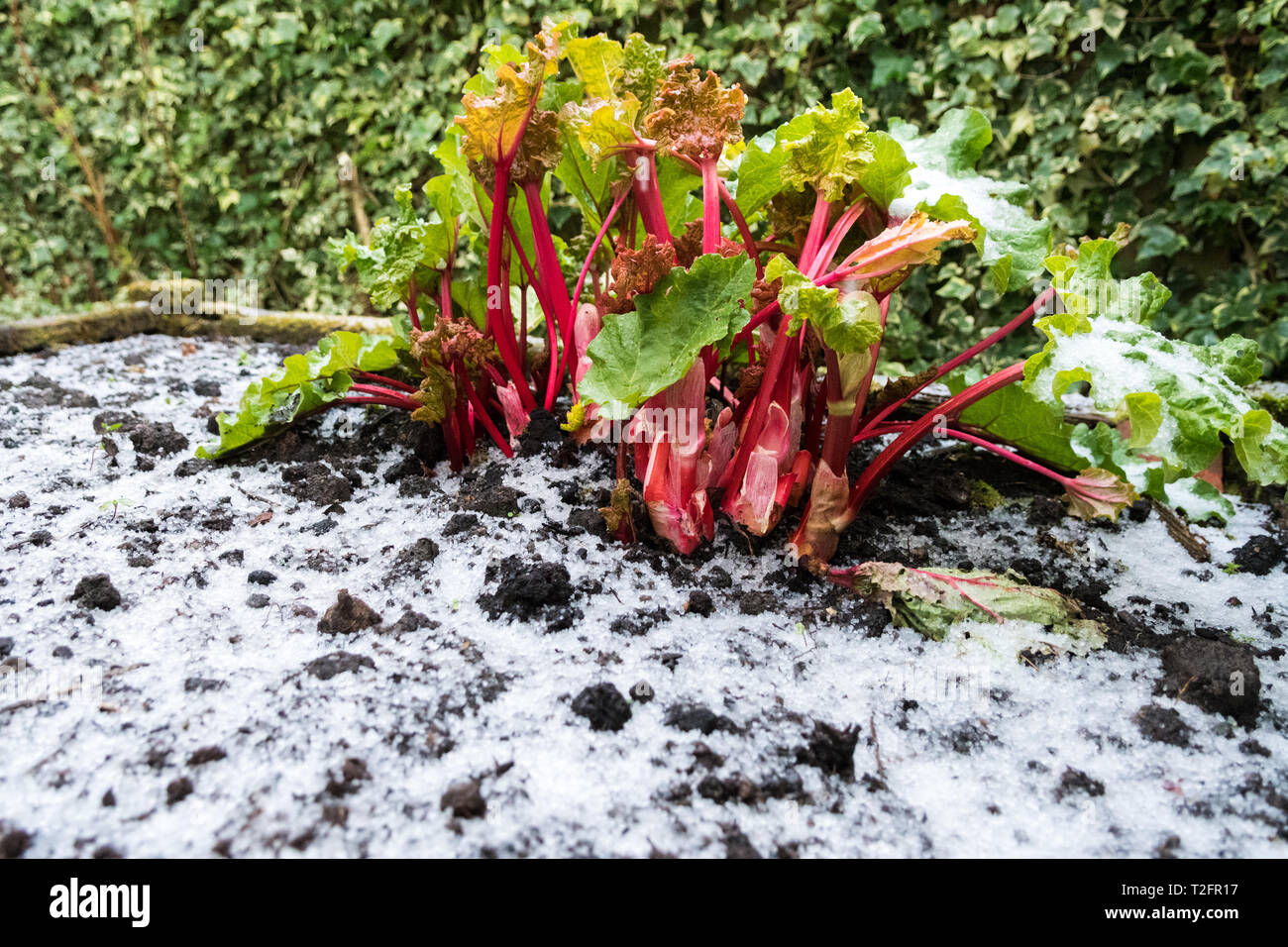Stirlingshire, Scotland, UK. 2nd Apr, 2019. UK weather - after a lovely warm day, a sudden heavy hail shower broke over Stirlingshire in the early evening giving the bright red stalks of rhubarb a very wintery feel Credit: Kay Roxby/Alamy Live News Stock Photo