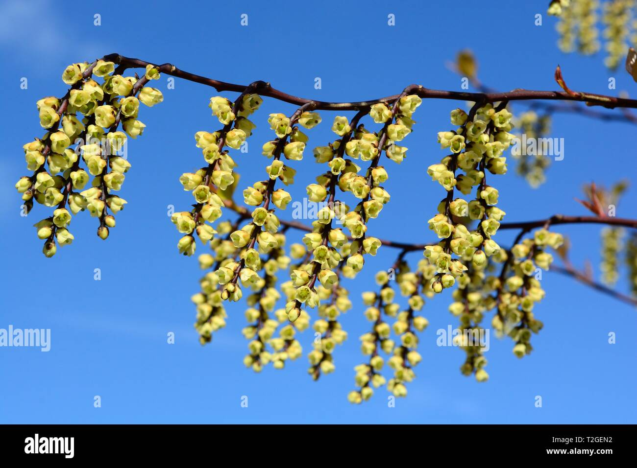 Stachyuris chinensis Joy forever flowers Chinese chinensis  against a blue sky in spring - Stock Image