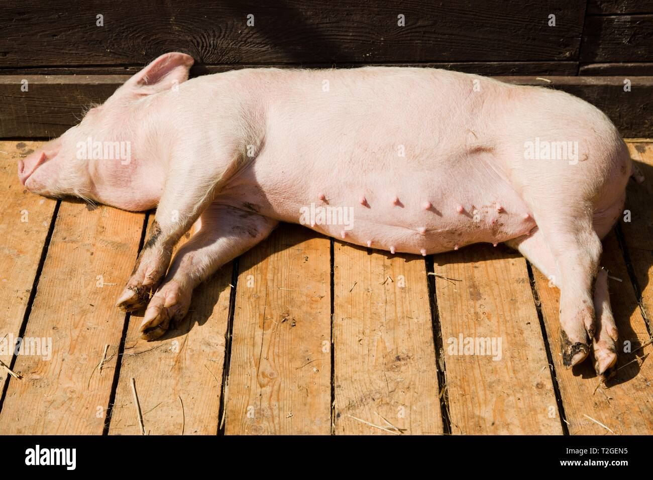 Small pig sleeping on wooden boards in shed on bio piggery farm during sunny day. Stock Photo