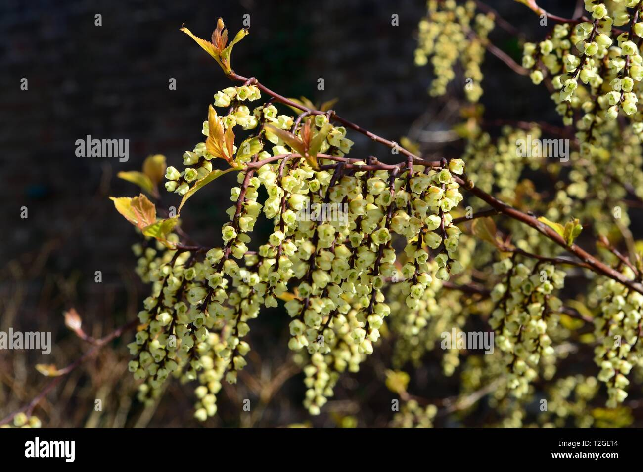 Stachyuris chinensis Joy forever flowers Chinese chinensis in spring - Stock Image
