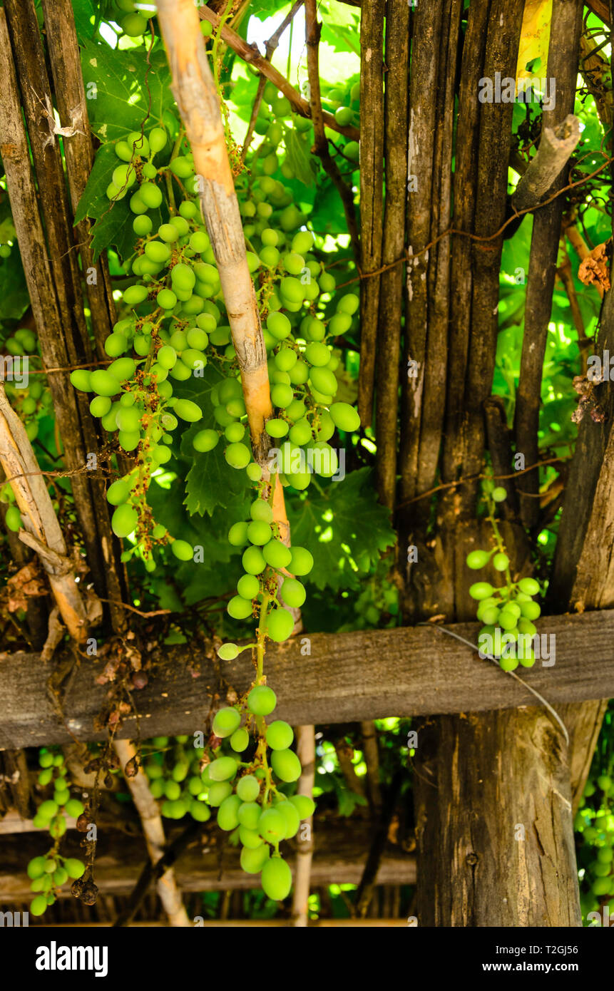 Sunny grape bunches on vineyard - Stock Image