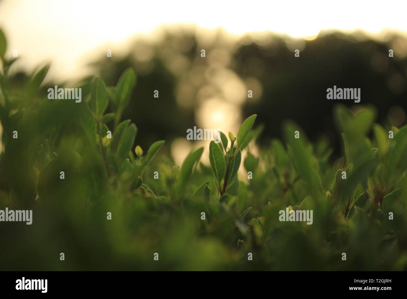 A Leaf in a bush at sunset in a Public Park in KAEC - Stock Image