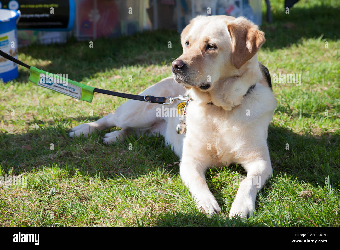 Golden Labrador as Guide Dog for the Blind at dog show in Helensburgh, Scotland - Stock Image