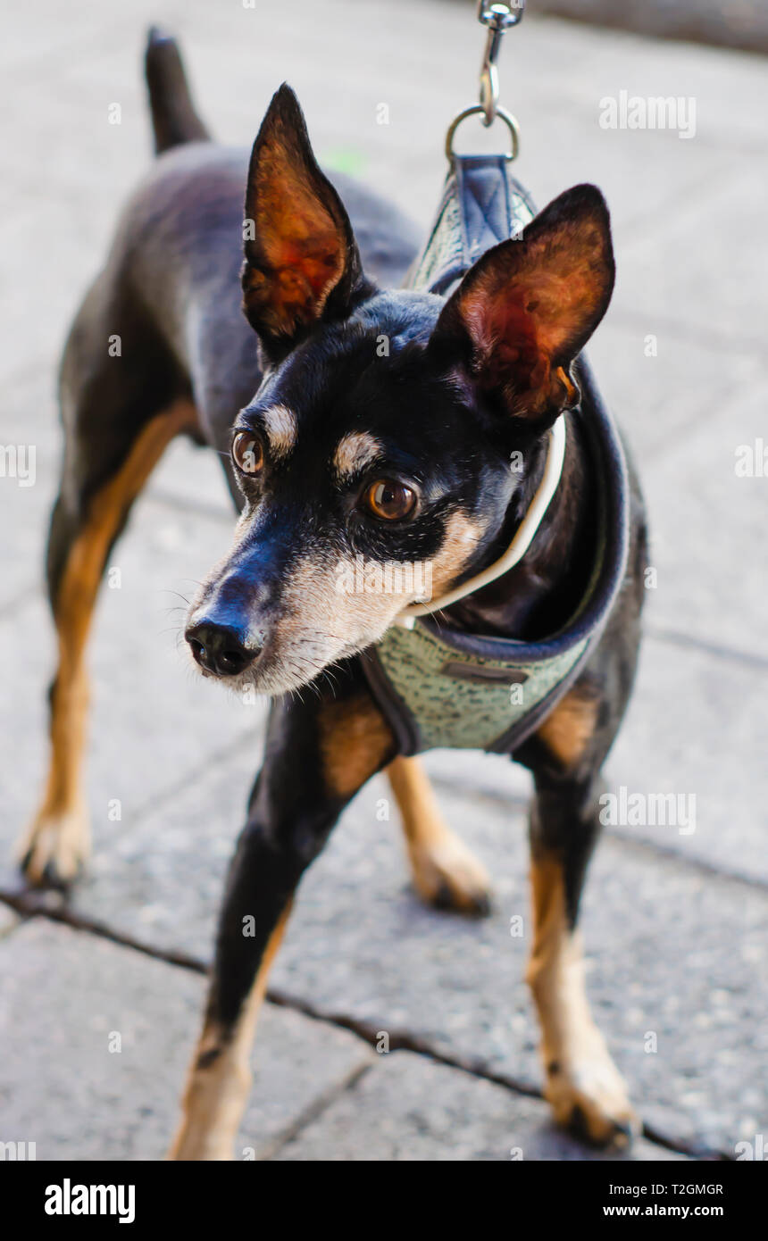black chihuahua dog doberman style with a posture and look with attitude - Stock Image