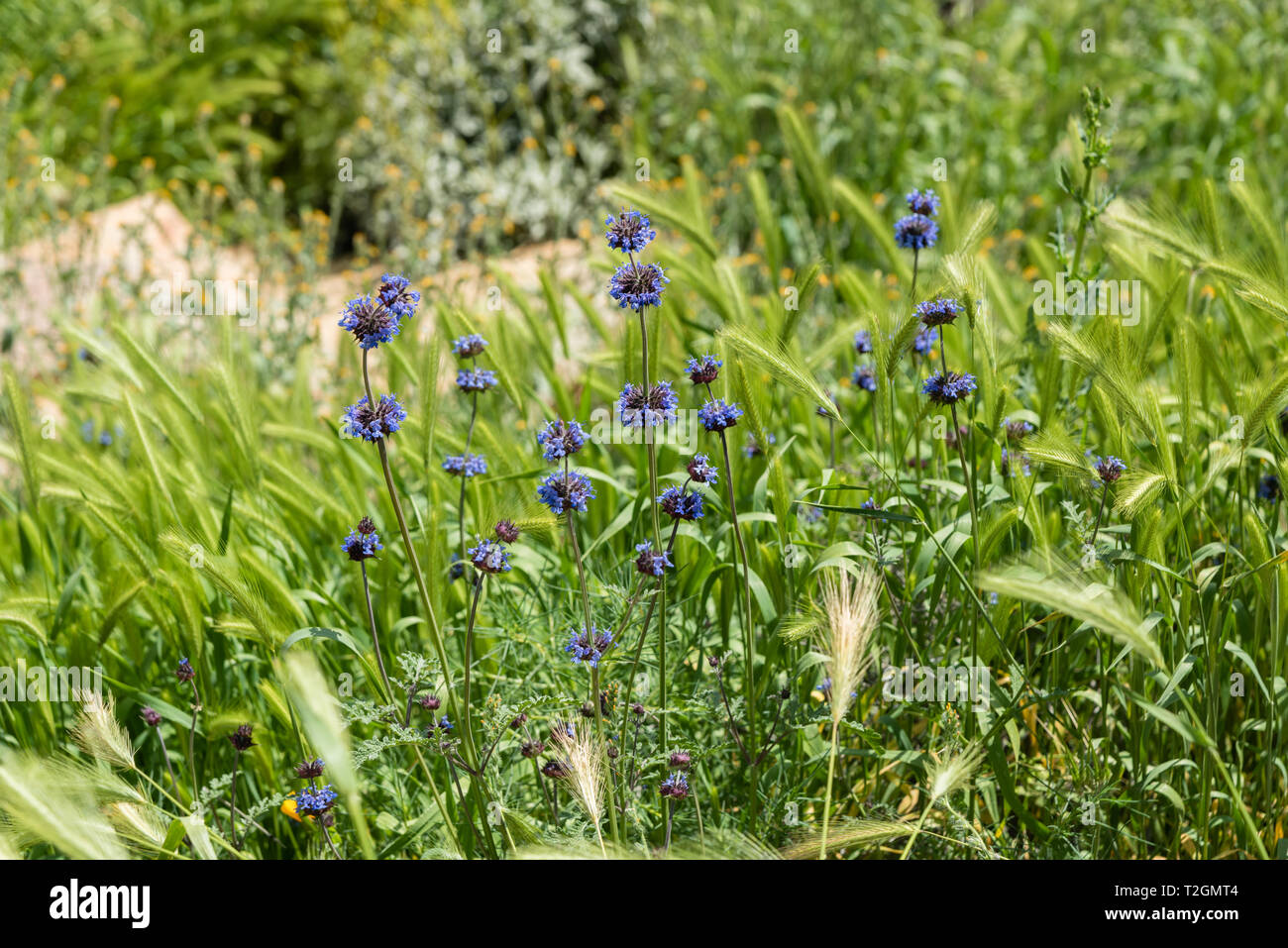 Beautiful blue wild flowers at the Walker Canyon - part of the superbloom 2019, Southern California - Stock Image