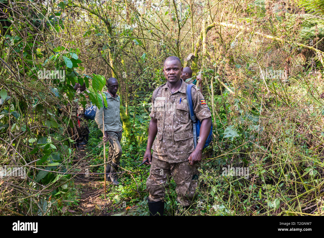Ugandan guide and trackers on the trail of mountain gorillas in Bwindi Impenetrable Forest National Park in South West Uganda, East Africa - Stock Image
