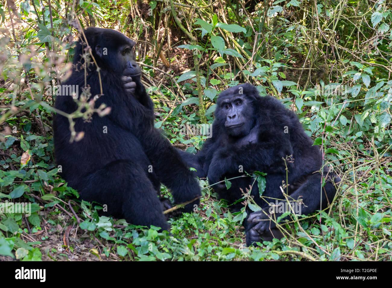 Female Mountain Gorillas (Gorilla beringei beringei) holding hands in Bwindi Impenetrable Forest National Park in South West Uganda, East Africa - Stock Image