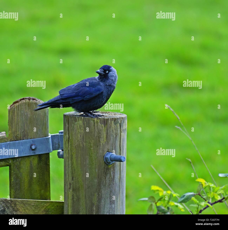 Jackdaw, Corvus, monedula Stock Photo