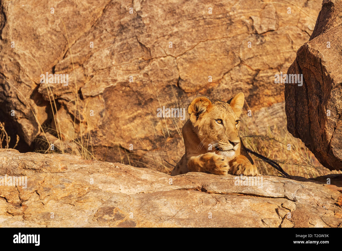 Lioness lion, panthera leo, hidden camouflaged on rocks, head face claws eyes. Samburu National Reserve, Kenya, Africa. Copy space search for prey Stock Photo