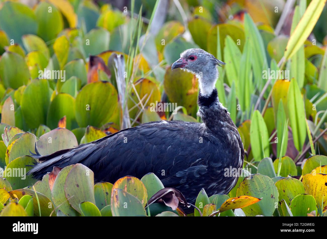 Southern screamer (Chauna torquata) in the Pantanal, Brazil - Stock Image