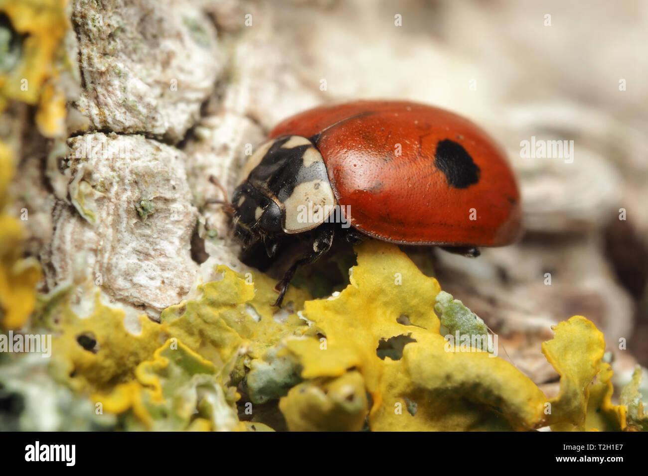 2-spot Ladybird (Adalia bipunctata) at rest on trunk of birch tree. Tipperary, Ireland - Stock Image