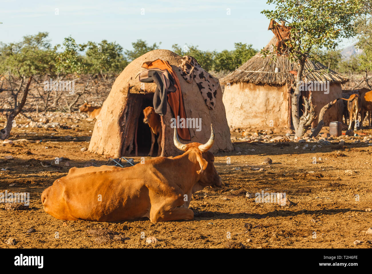 Closeup of two Himba tribe huts built of mud in Damaraland with animals in one of them and others roaming freely around - Stock Image