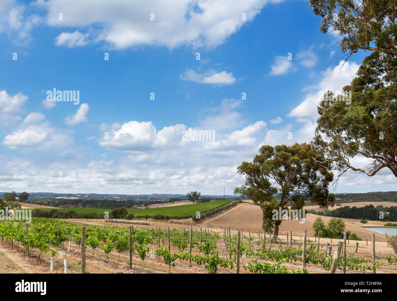 Rows of grape vines at The Lane Vineyard, Hahndorf, Adelaide Hills, South Australia, Australia - Stock Image