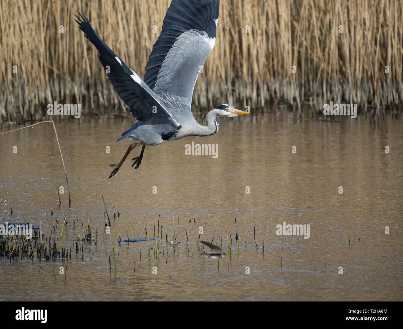 Grey Heron, Welsh Wildlife Centre, Wales Stock Photo