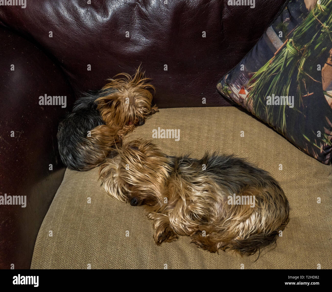 Two small pet dogs sleeping on a couch indoors image with copy space in landscape format - Stock Image