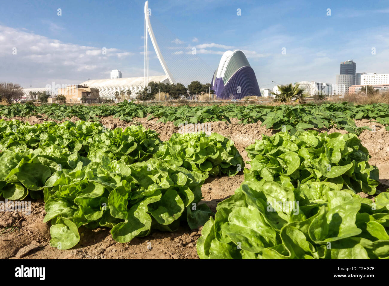 Valencia City of Science, in the foreground lettuce field, Spain agriculture Europe Stock Photo