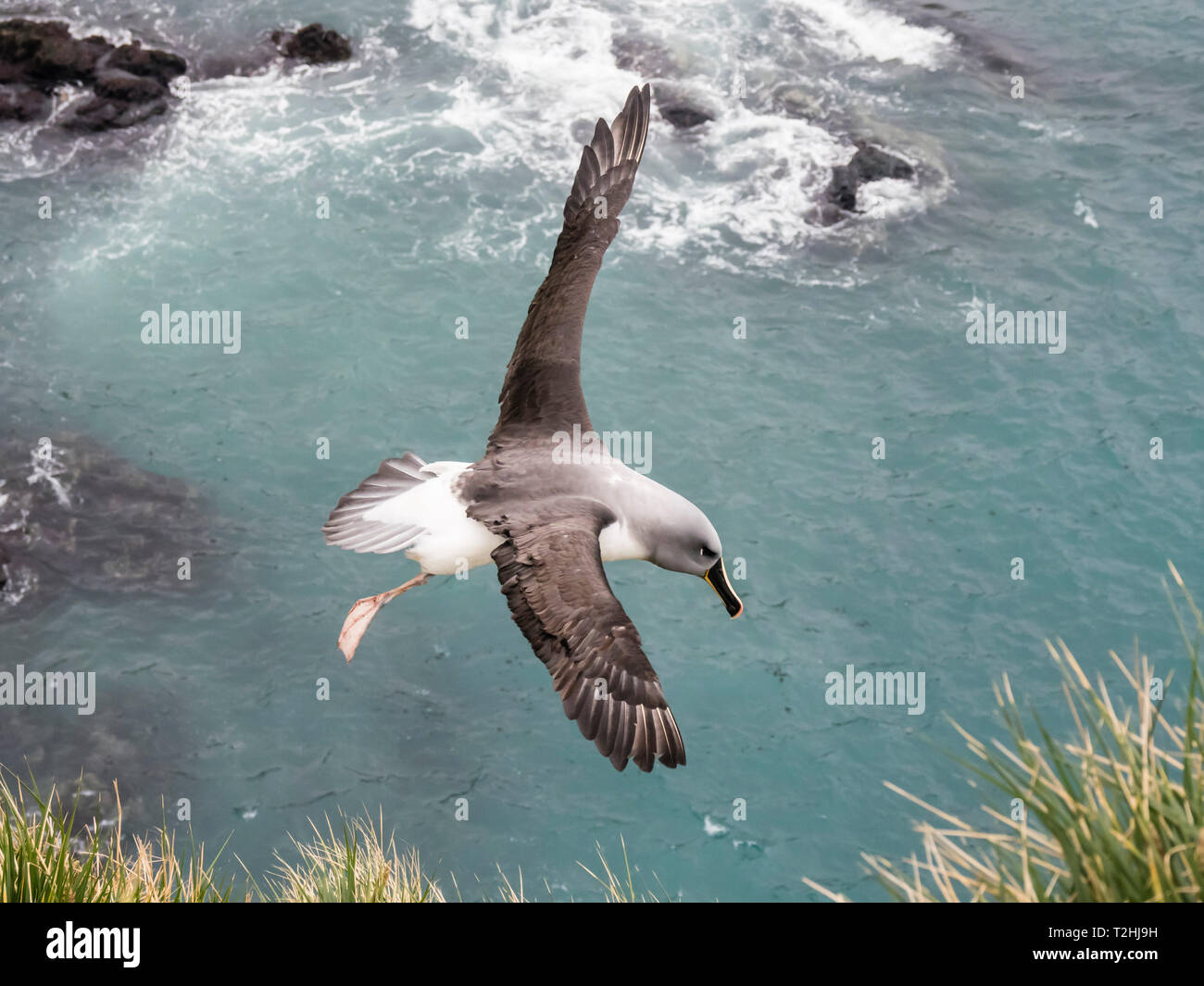 Adult grey-headed albatross, Thalassarche chrysostoma, returning to nest site at Elsehul, South Georgia Island, Atlantic Ocean - Stock Image