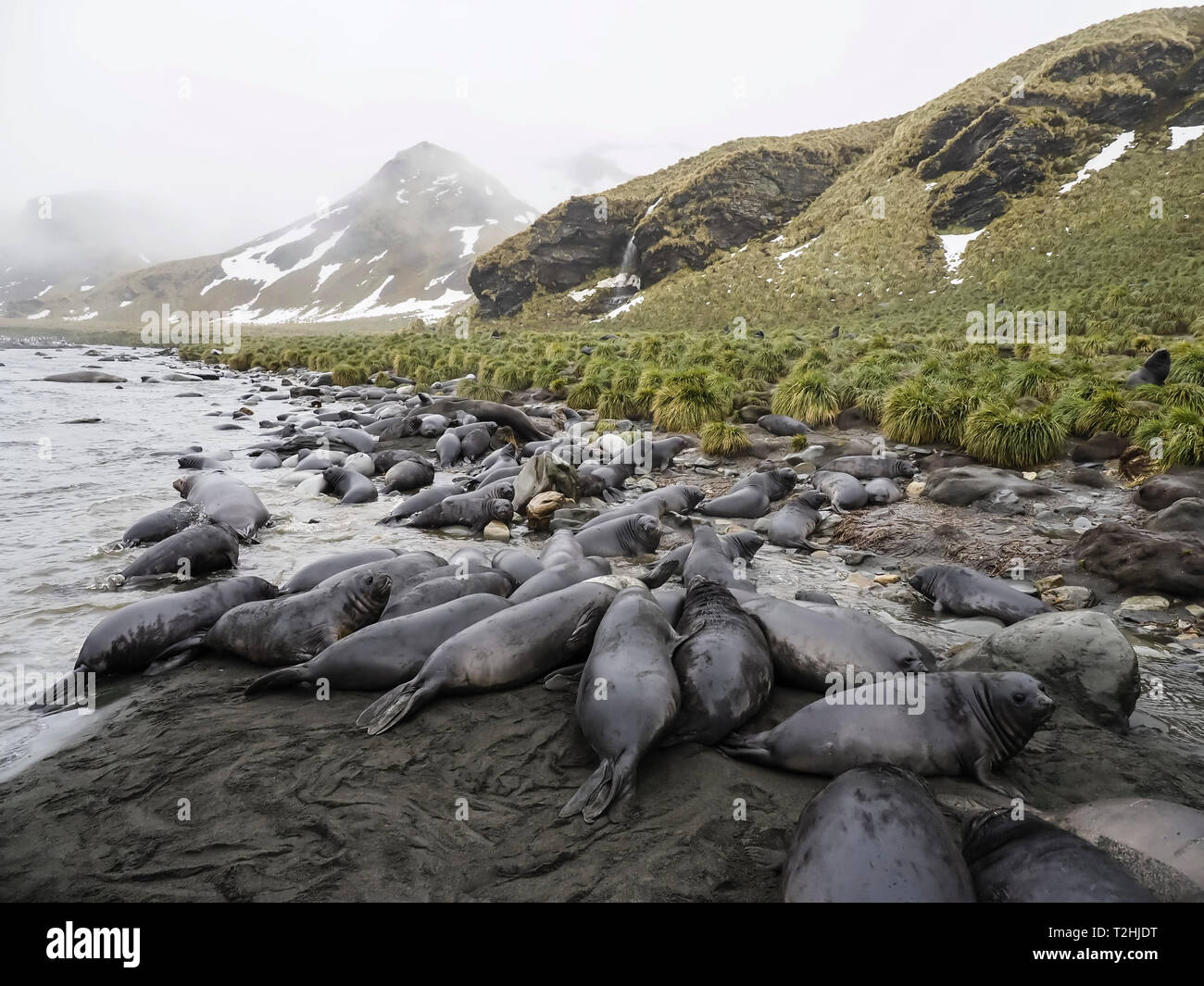 Southern elephant seal pups, Mirounga leonina, newborns and weaned, Jason Harbour, South Georgia Island, Atlantic Ocean - Stock Image