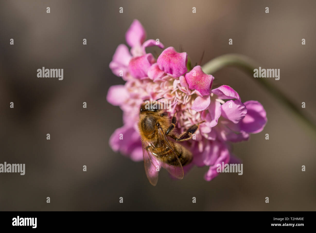 Honey bee on Scabious flower - Stock Image