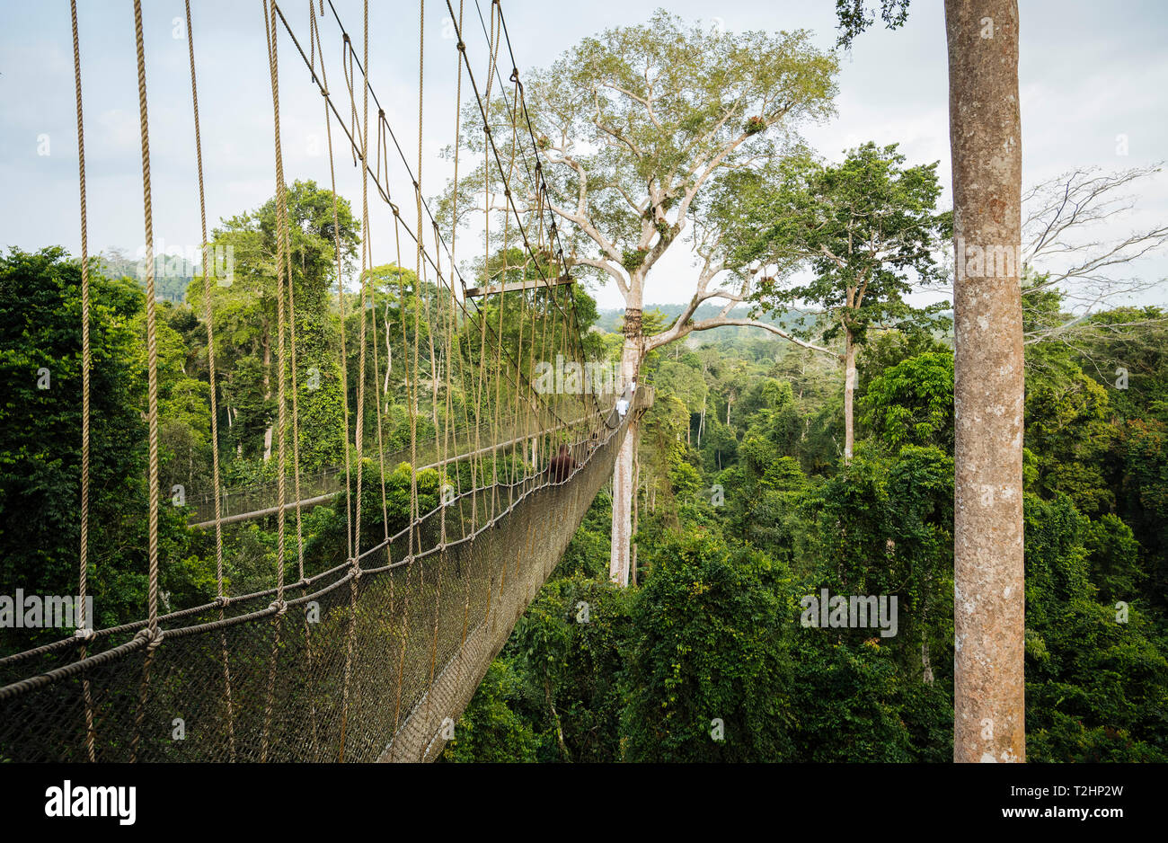 Tourists on Canopy Walkway through tropical rainforest in Kakum National Park, Ghana, Africa - Stock Image