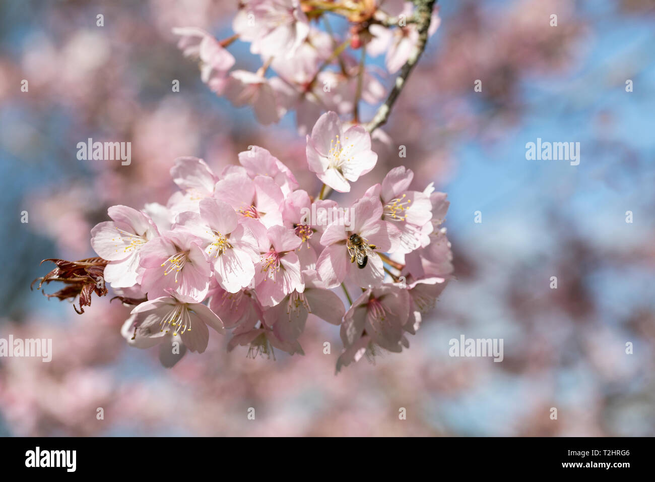 Close up of Prunus Sargentii cherry tree blossom flowering in the UK during spring, England, UK Stock Photo