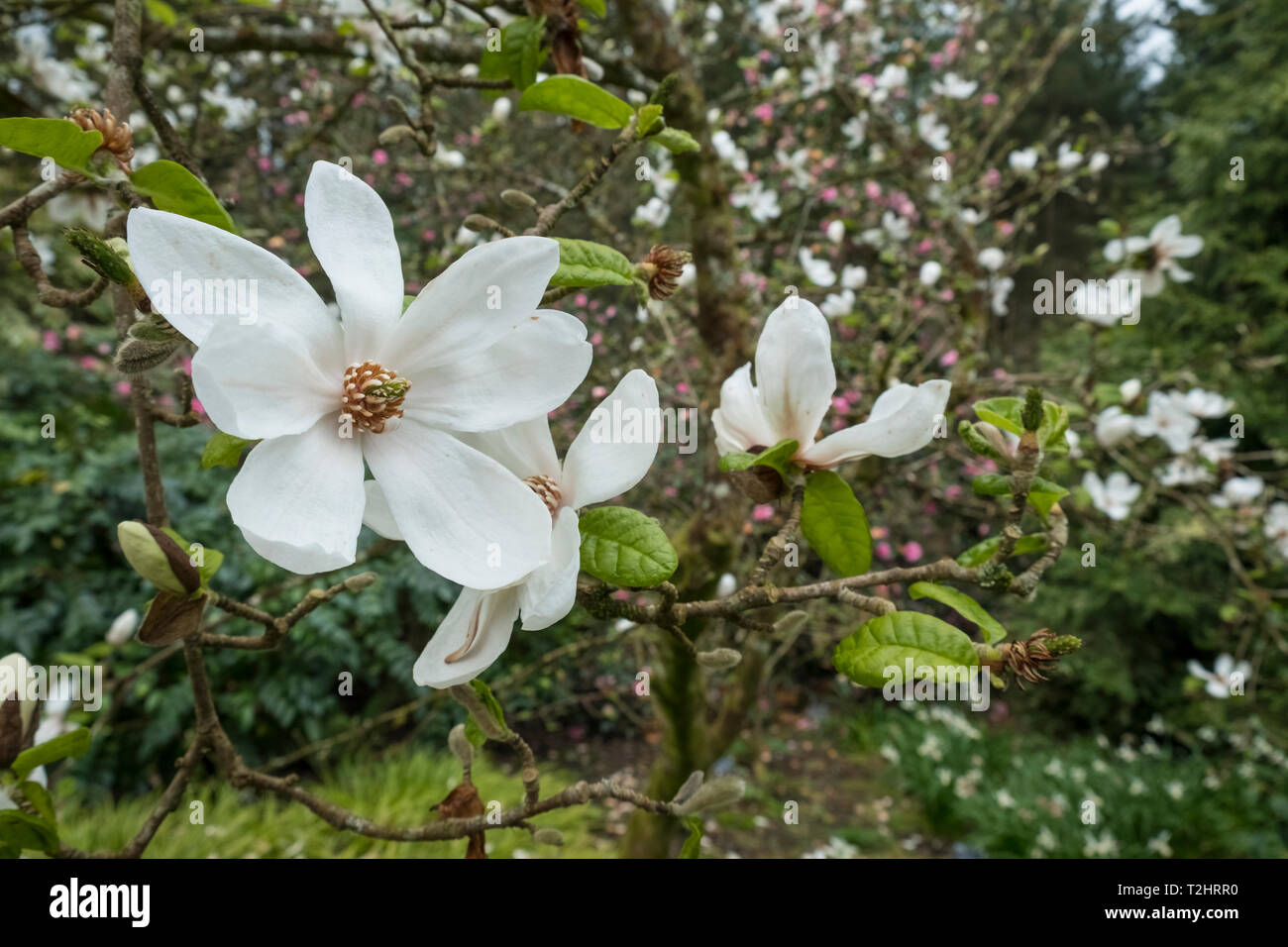 Star Magnolia, Magnolia Stellata, white flowers during spring, England, UK Stock Photo