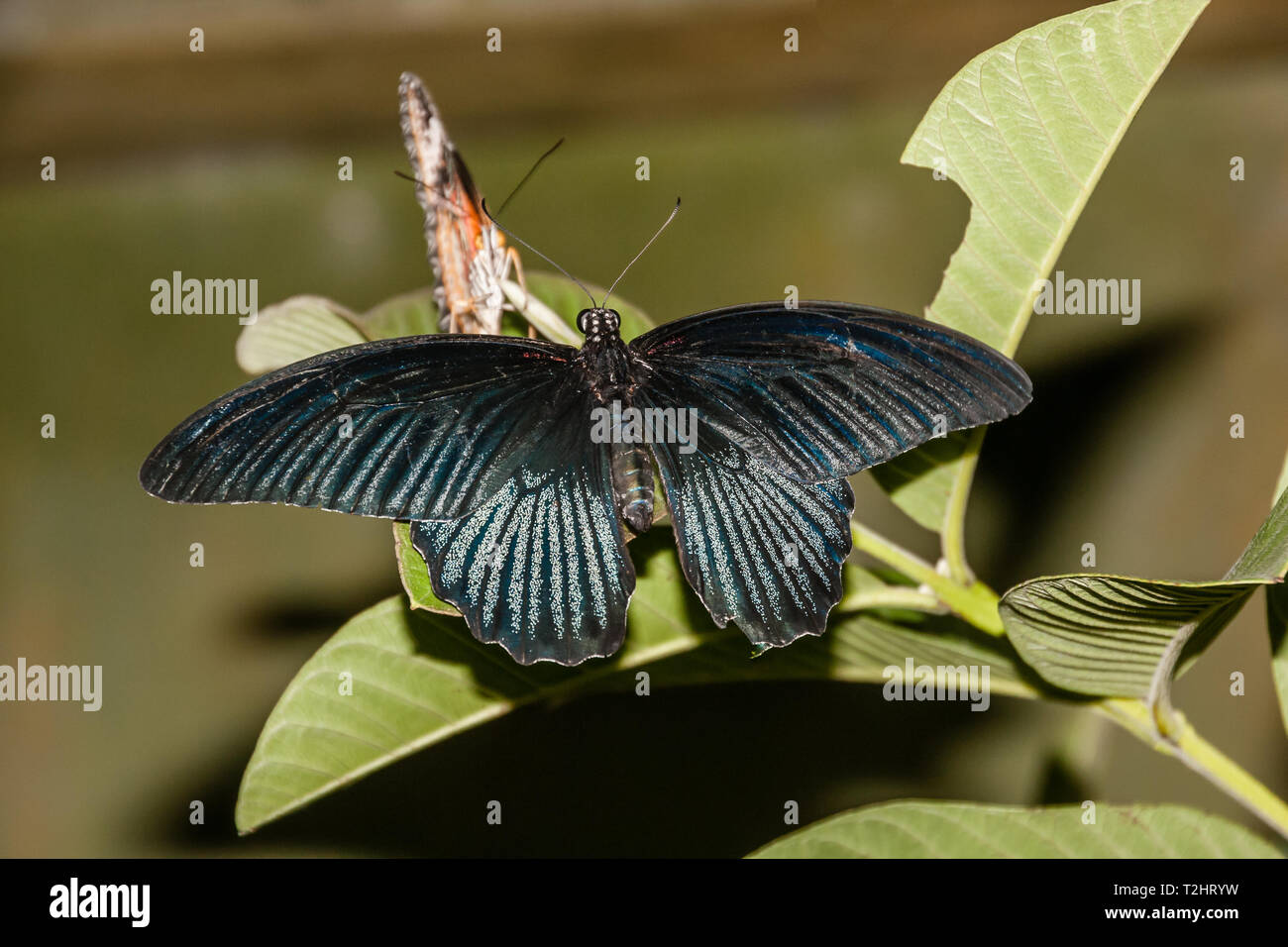 A tropical butterfly of family Papilionidae - Stock Image