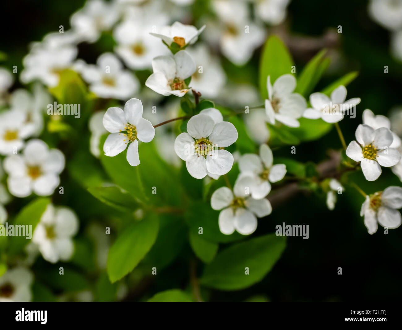 Small White Flowers Bloom On A Small Tree During The Japanese