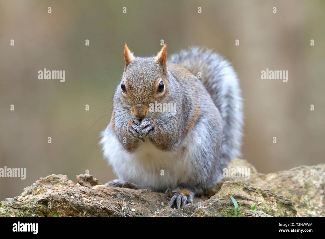 Eastern Grey Squirrel or Grey Squirrel, Sciurus carolinensis, front view eating seeds, England, UK. - Stock Image
