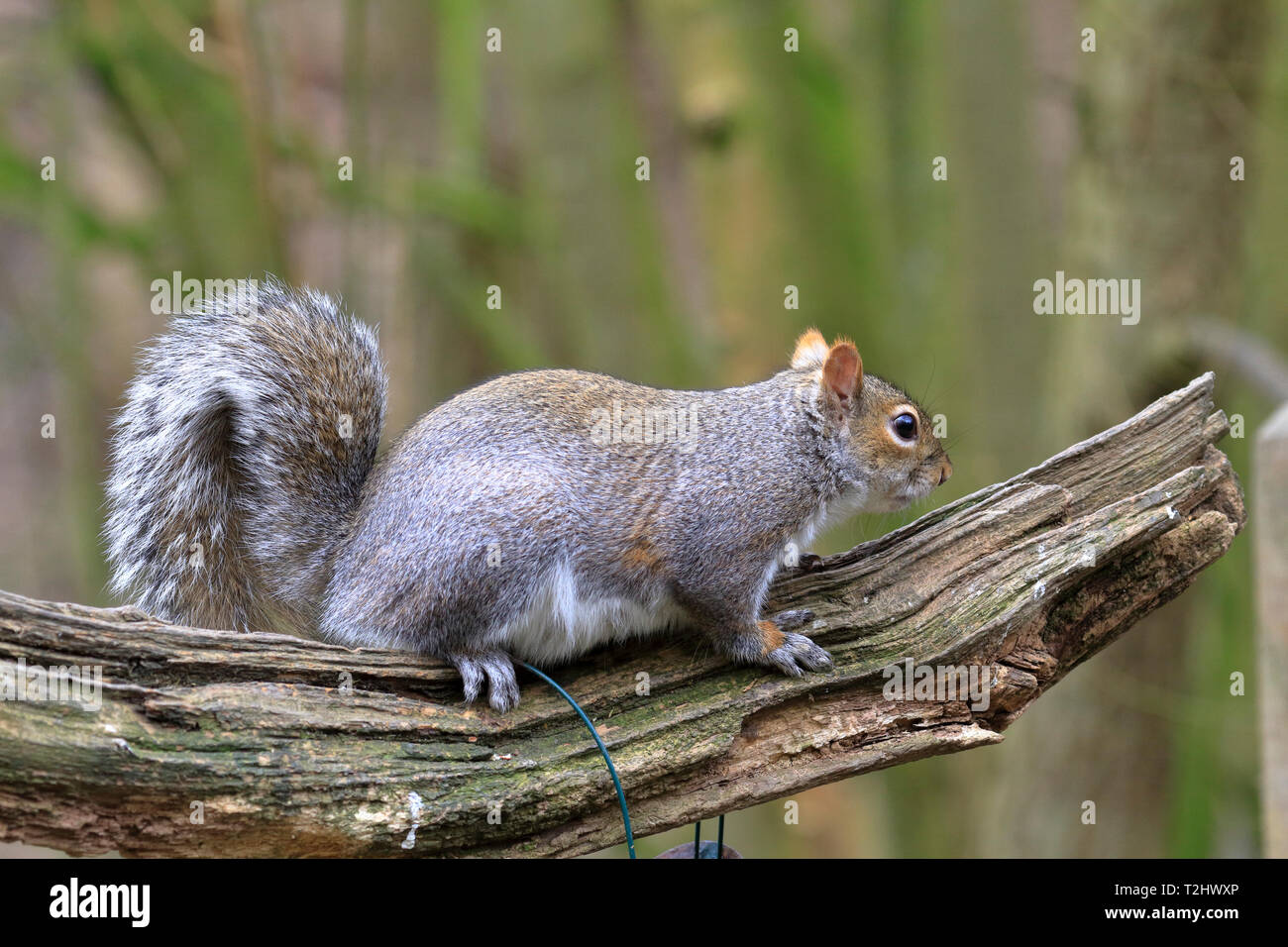 Eastern Grey Squirrel or Grey Squirrel, Sciurus carolinensis, side view on a decaying branch, England, UK. - Stock Image