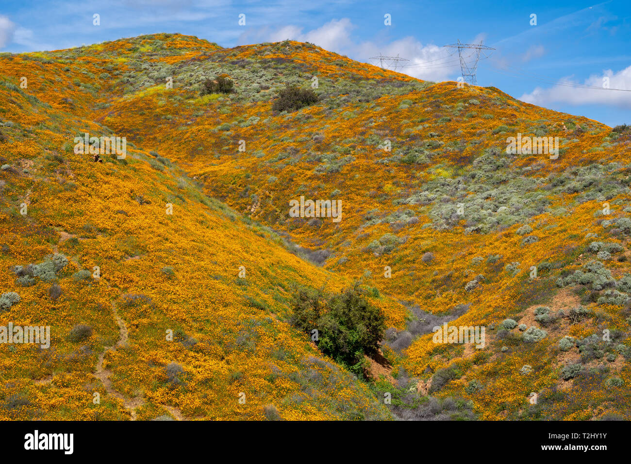 Orange California Poppies carpet the field in Walker Canyon in Lake Elsinore during the 2019 super bloom - Stock Image
