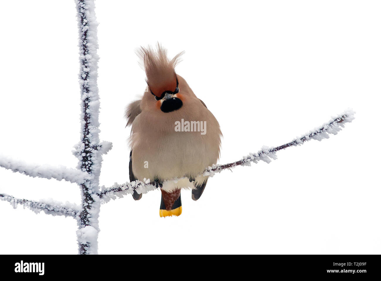 Bohemian waxwing ruffled in the frost weather - Stock Image