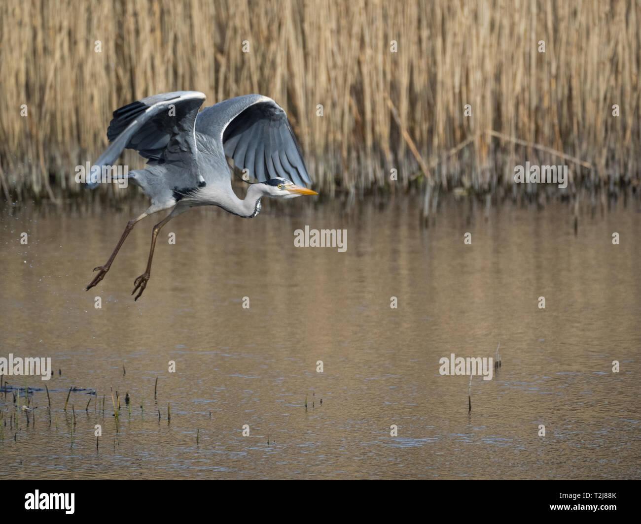 Grey Heron, Welsh Wildlife Centre, Wales Stock Photo