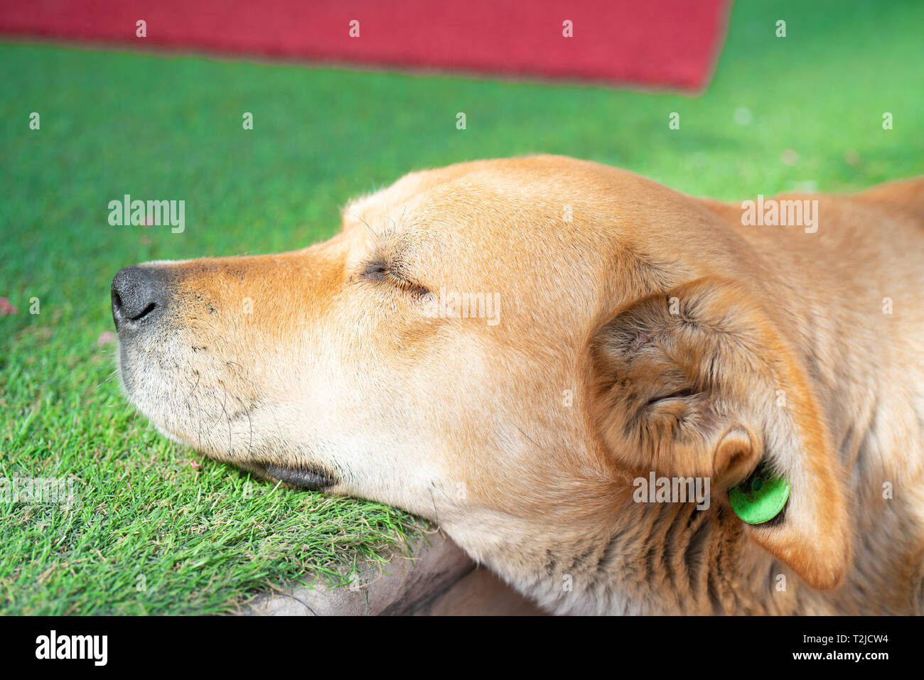 Stray dog is laying in street and sleeping - Stock Image