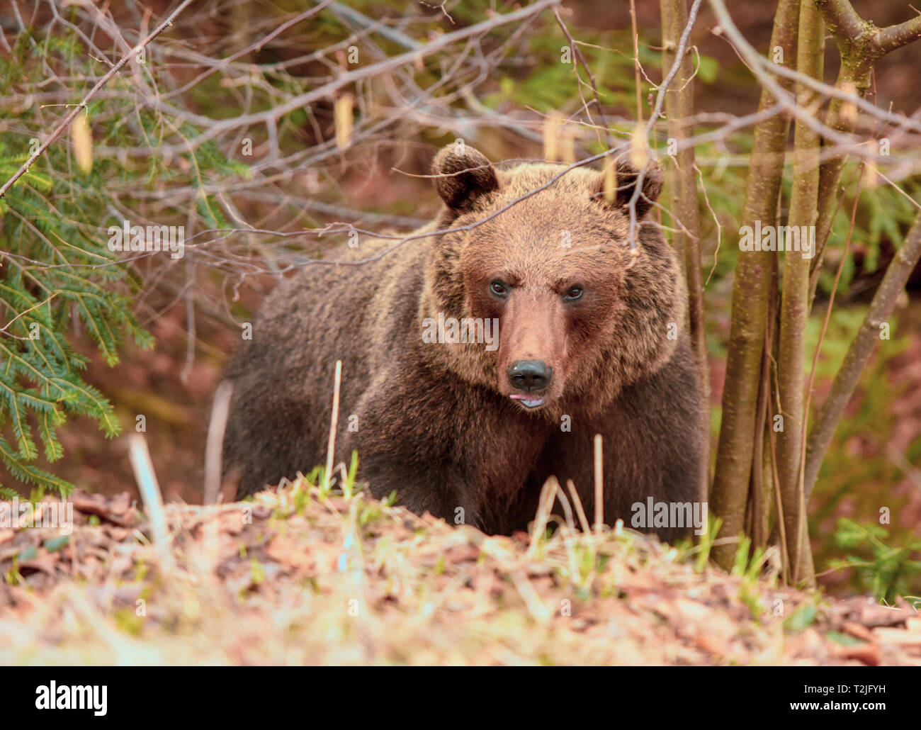 Portrait of brown bear in forest - Stock Image
