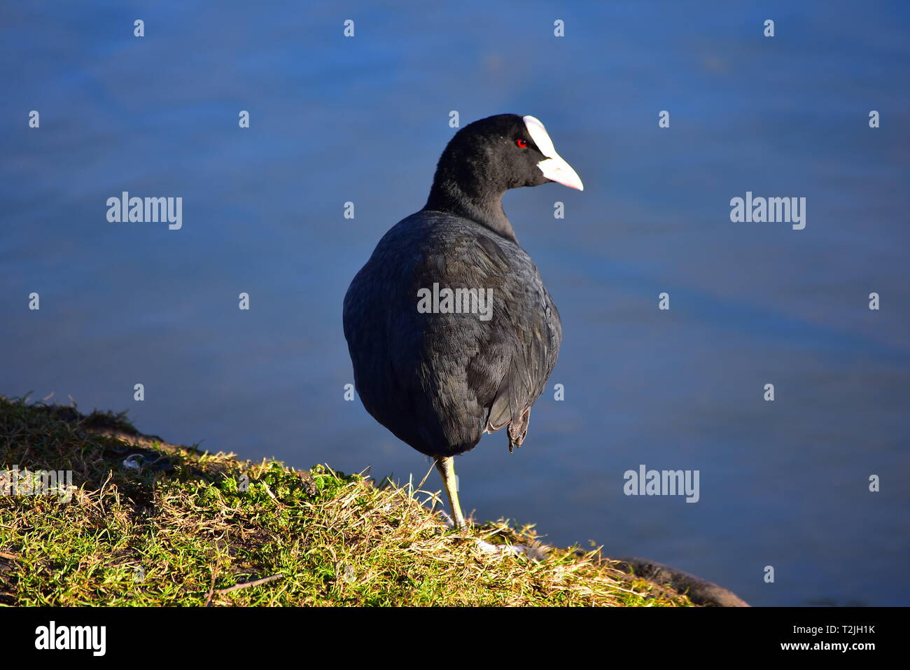 Adult Coot Resting on one leg. Enjoying the sun on the bank of a lake - Stock Image